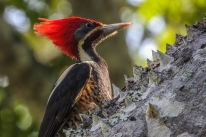 Pileated Woodpecker #1