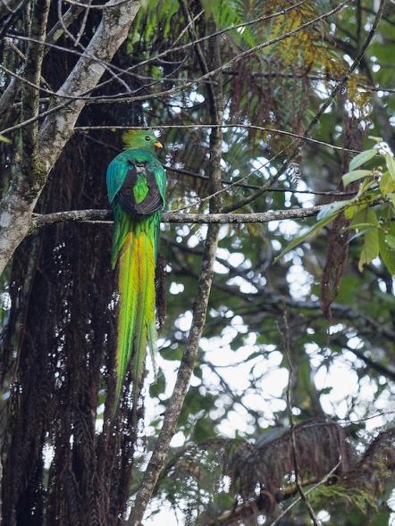 Male Resplendent Quetzal - Guatemala's national bird