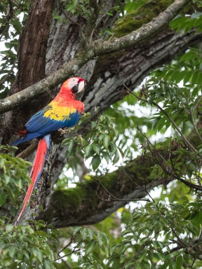 A scarlet macaw that's been released into the archaeological site.