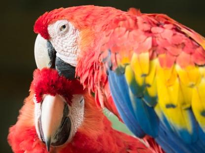 Scarlet Macaw - Guara Roja