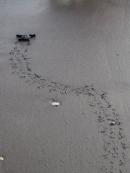 Ridley Turtle Hatchling