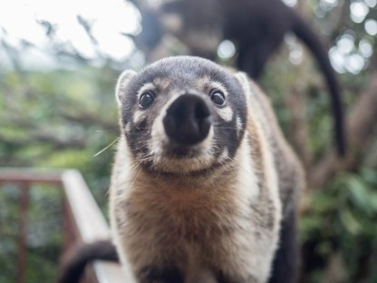 """One of the Coati's common names is """"Hog Nosed Racoon"""""""