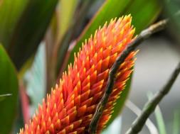 Bromeliad inflorescence