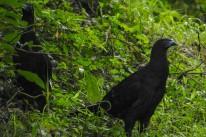 Black Guans