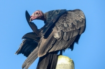 Preening Turkey Vulture