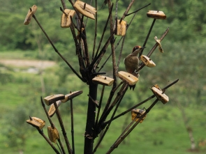 Black-cheecked Woodpecker
