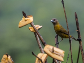 Passerini's Tanager - Female