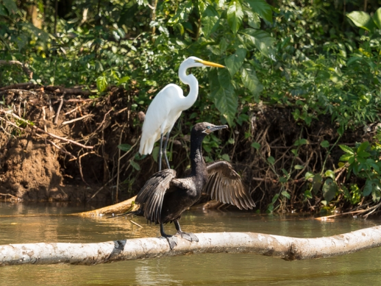 Great Egret and Friend