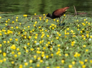 Northern Jacana, Caño Negro Wildlife Refuge