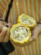 The seeds of a cacao pod