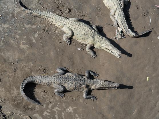Crocodiles, Rio Tarcoles