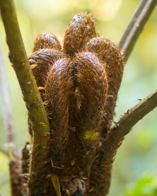 Unfurled tree fern fronds
