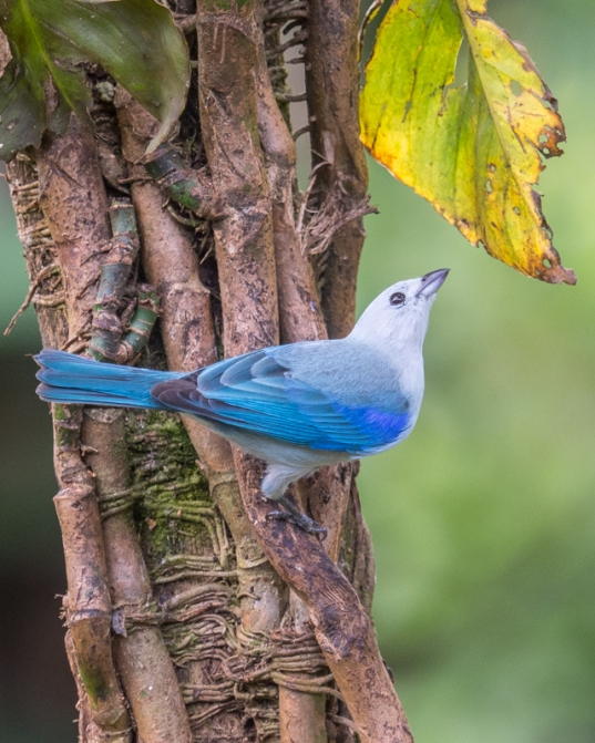 Blue-Gray Tanager - My favorite shot. Which one is yours?