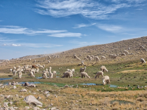 Grazing alpaca.